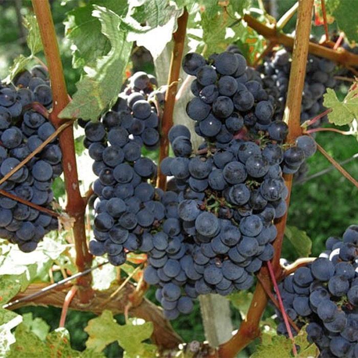 4prus wines bewines