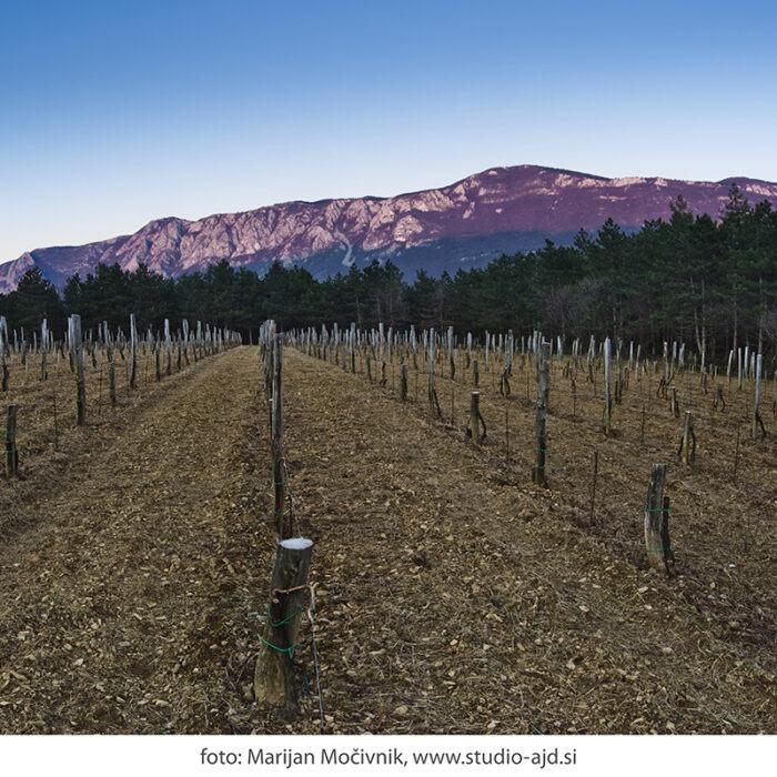 Burja vinograd Orehovica
